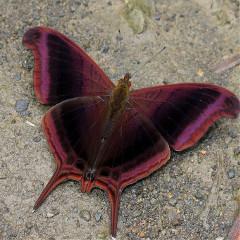 blackberrynymph