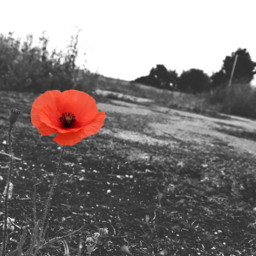 nature blackandwhite colorsplash colourpop poppy flower outandabout freetoedit