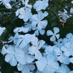 flowers floral botanical white green blue nature earth planetearth vegan veganism iphone pgotography portraitmode newportbeach california orangecounty socal