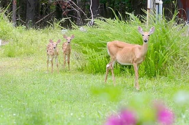 #myphoto #myedit #outsidemywindow #deer #wildlife #momandbabies #naturephotograpy#nature Me looking at them and them looking at me 😂👌😍🦌🦌🦌 #freetoedit @robinrobertson2