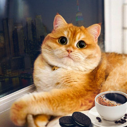 freetoedit cat redhead sweet sweetcat newyorkcity newyork ny oreo coffee greeneyes кот котик рыжик рыжий рыжийкот милота ньюйорк орео кофе зеленыеглаза 🐱 🐈 🌃 ☕