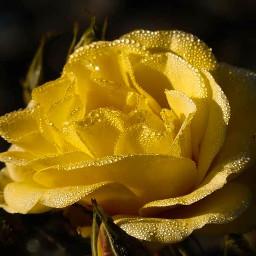 freetoedit myphoto myclick photography nature remixit rose waterdroplets