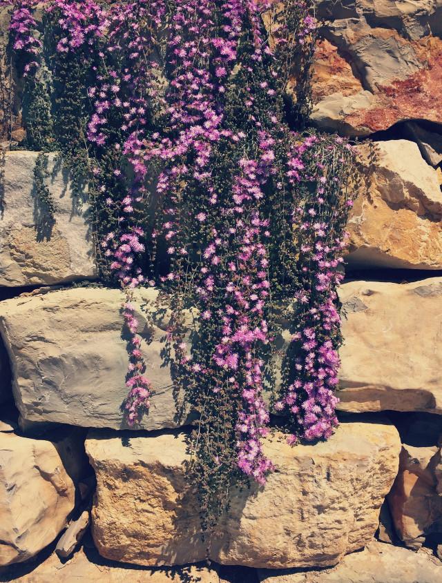 Like a #cascadeofflowers #nature #rockwall #rocks #garden #suculents #suculentflowers #sunnylightandshadows  #naturephotography #freetoedit
