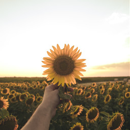 hand sunflower flower nature freetoedit