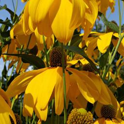 bunia0914 myphoto myoriginalphoto myclick naturephotography garden mygarden summer summertime nature plant plants flowers green yellow yellowflower beautifulday happyday freetoedit