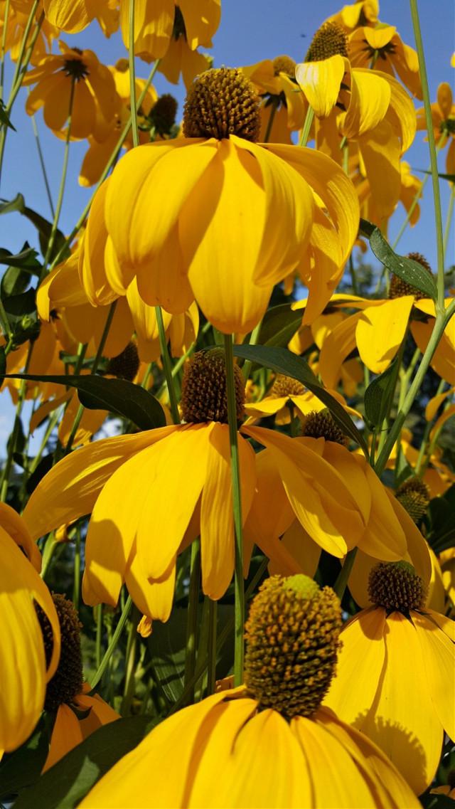 #bunia0914 #myphoto #myoriginalphoto #myclick #naturephotography #garden #mygarden #summer #garden #mygarden #summer #summertime #nature #plant #plants #flowers #green #yellow #yellowflower #beautifulday #happyday