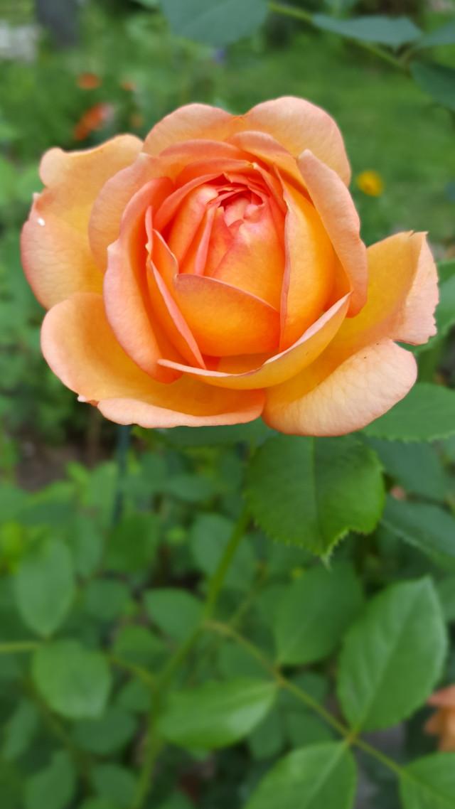 #bunia0914 #myphoto #myoriginalphoto #myclick #naturephotography #garden #mygarden #summer #garden #mygarden #summer #summertime #nature #plant #plants #flowers #rose #green #orange #orangeflower #orangerose #beautifulday #happyday