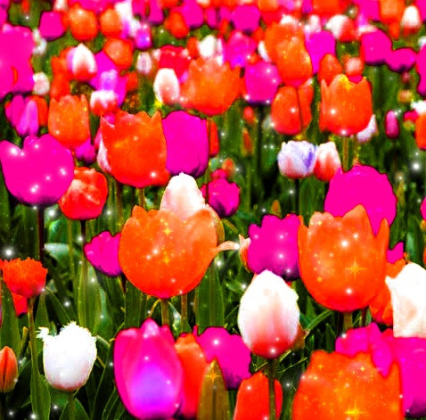 Let you dreams blossom. 🌷 I have never seen these colors of tulip before, so I thought why don't I make these colors on tulips?! How do they look? 🤔  #flowers #flowerpower #flowerfield  #colors #nature #tulip #tulipfield #freetoremix