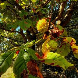 freetoedit myphoto autumnleaves autumnvibes kastanie pcleavesisee