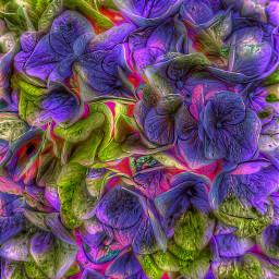 freetoedit flowers hydrangea fattal2 colorsplasheffect background