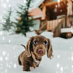 cartoonifiedanimals dog puppy doxy snow cute cutie cuddles petsofpicsart imagination myimagination stayinspired create creativity madewithpicsart freetoedit