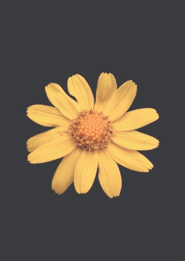 #minimalism #flower #nature #simple #singleflower #yellow #simpleflower #minimalisminnature #naturesbeauty #yellowflower #littleflower #inthecenter #flowerpower  #moodyedit #blackbackground #lessismore #simplicity  #minimalphotography                                                                                       #freetoedit