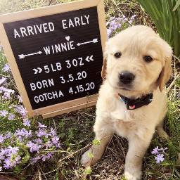 dog cute puppy pcmypetsbestportrait mypetsbestportrait