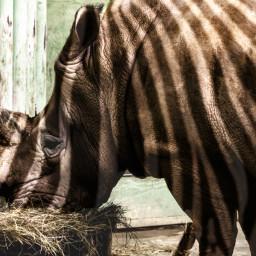 zebrino rheebra hyrbrid zebra rhino stripes zebrastripes anomaly animal animalmerge