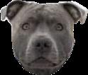 pitbull grey gray freetoedit