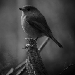 photography monochrome bird cute randomclick picsartedit picsartforfun freetoedit