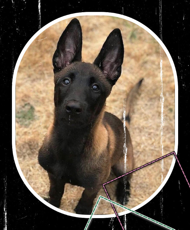 #belgianmalinois what would you name this dog?