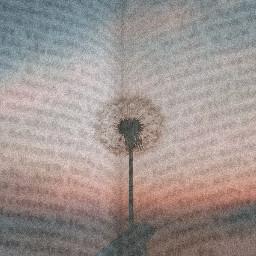 freetoedit ircdandelionsilhouette dandelionsilhouette