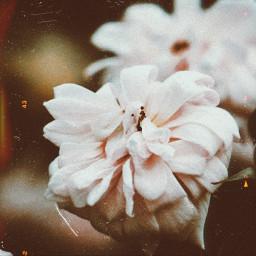replay makeawesome heypicsart spider rose flower flowereyes photo photography picsart replayedit picsartedit picsart100million freetoedit pic autumn autumnleaf autumnart golden tag goodmorning happy autumncolors sunday happyday