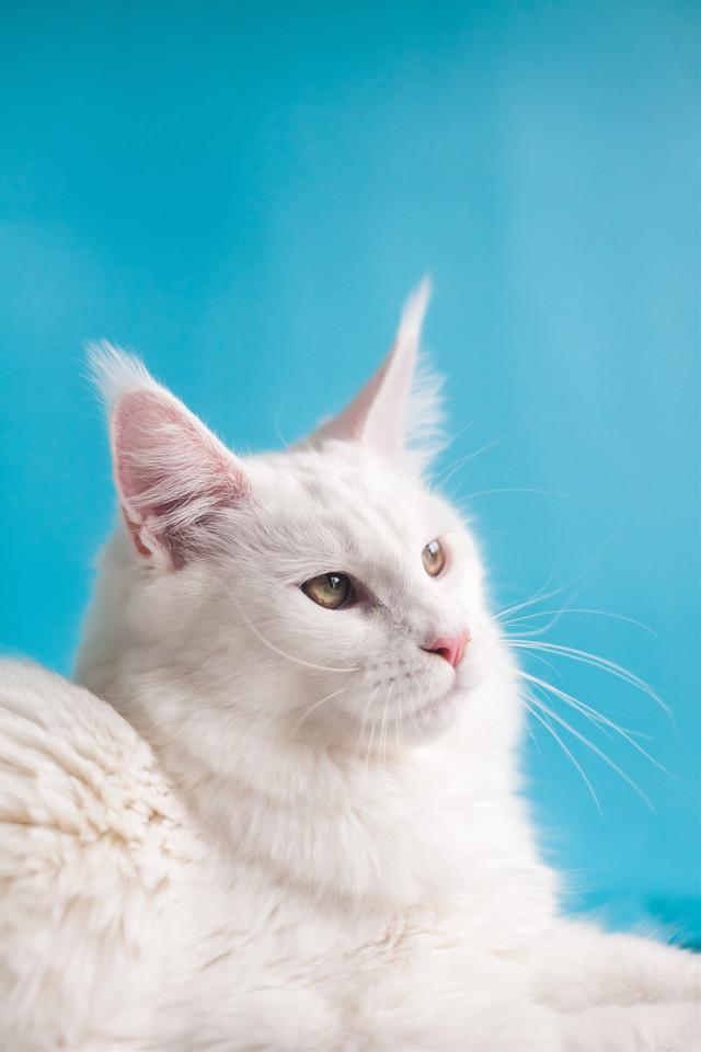 Purrrrfect edits wanted! Unsplash (Kanashi) #cat #cats #animal #animals #cute #freetoedit