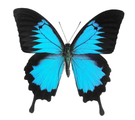 insect arthropod butterfly bluebutterflies bluebugs bugs insects skyblue blue aesthetic butterflyaesthetic freetoedit