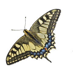 butterfly tigerbutterfly yellow yellowbutterfly black insect insects bug bugs cottagecore freetoedit