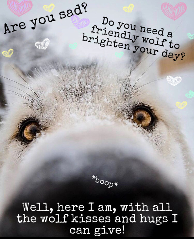 I know almost everyone is sad because @im_a_marshmallow left, but don't worry, me, the friendly wolf, is here to comfort you. 😄 🐺 I'd be more than happy to be petted and hugged in the comments!    Welcome to the wolf pack!  ☾ ☾ ☾ ☾ ☾ ☾ ☾ ☾ ☾ ☾ ☾ ☾ ☾ ☾ ☾ ☾ ☾ ☾ ☾  🐺🐺🐺🐺🐺🐺🐺🐺🐺🐺🐺🐺🐺🐺🐺                                         🌑🌒🌓🌔🌕🌖🌗🌘🌑  My name: Wolfy  About me: I'm a wolf therian, and I love wolves  Theriotype: Grey Wolf 🐺 Pronouns: She/her Favorite colors: Blue and light grey Favorite animal: The Wolf ❤️   Wolf of the day: @slothlover1123   Meet the wolf pack: 🐺 @slothlover1123 🦥 🐺 @im_a_marshmallow 🦋 (we all love and miss you) 🐺 @lxvlyy 🦖 🐺 @derpy_pan_child 🐺 @midnightwolfavantisf 🐺 🐺 @goldenluvv  🐺 @_paradigm_ 🍓 🐺 @0nuggetforever0 🐺 @p_i_c_s__a_r_t_  🐺 @mxshroom-  🐺 @phibs11  🐺 @fussy_frances 🐺 @endo_the_raptor 🐺 @alxxsxul 🐺 @foxoryx_official 🐺 @disnxy77  🐺 @deer_2021 🦌 🐺 @ameliaandkate 🐺 @xfluffywolfiex 🐺 🐺 @sam_alpaca 🦙   🐺 @sweetpotatounicorn5 🥔 🐺 @gecko-lover123 🐺 @therian4life 🐺 @kendycatz-yellow 🌝 🐺 @piggythebrave  Please love and help the wolves!  ❤️🐺❤️  Hashtags: #friendlywolf #goodwolf #petme #hugme #petme #givemeabellyrub #boop #iwillhelp #wolf #imsorryslothy