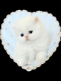 cat kitty soft animals whitecat freetoedit