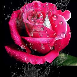 rosa freetoedit