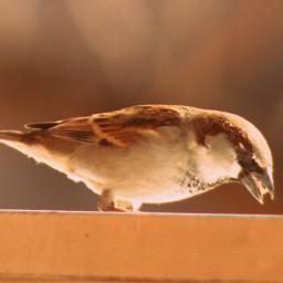 birds birdsphotography pidgeon freetoedit