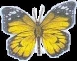 mariposa mariposas yellow butterfly butterflys butterflysticker butterflystickers freetoedit