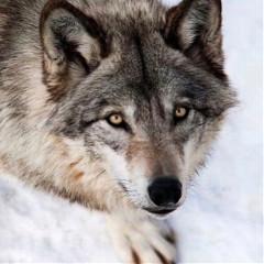 wolfy-edits
