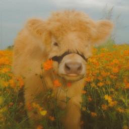 cow freetoedit