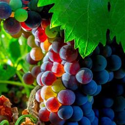 freetoedit grapes fruit pcfavoritefruitsandveggies favoritefruitsandveggies