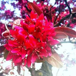 flower spring red freetoedit