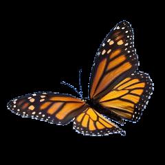 butterfly butterflies insect bug bugs orangeaesthetic orange monarchbutterfly animals cute freetoedit