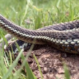 freetoedit snake garter gartersnake nature grass pcmyfavoriteshot myfavoriteshot
