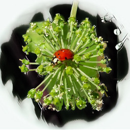 photo flower ladybug freeroedit