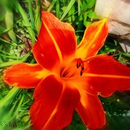 daylily orange yellow myphotography mygarden flowers green freetoedit