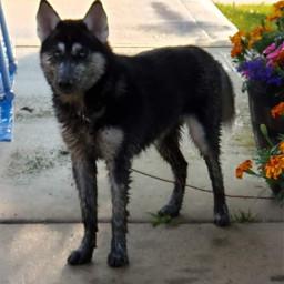 siberianhusky puppy doggo