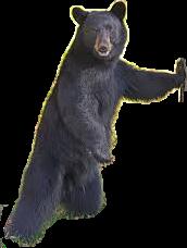 blackbear bear animal freetoedit local