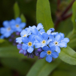 background forgetmenots local