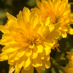 gelbeblüten pcyellowisee yellowisee
